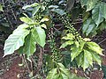 Coffee plantations Bolaven Plateau 04.jpg