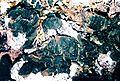 Collema subflaccidum-2.jpg
