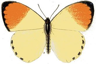 Colotis incretus - Male