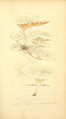 Coloured Figures of English Fungi or Mushrooms - t. 68.png