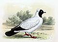 Columba livia domestica Nun 1869.jpg