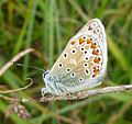 Common Blue. Polyommatus icarus - Flickr - gailhampshire (8).jpg