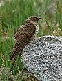 Common Cuckoo (Cuculus canorus) (31177813565).jpg