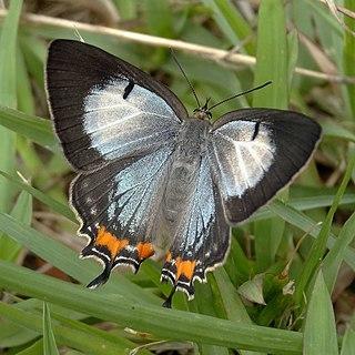 <i>Jalmenus evagoras</i> Species of butterfly