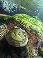 """Common Snapping Turtle """"Stretch"""".jpg"""