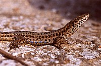 Common Wall Lizard (Podarcis muralis) male (36302202481).jpg