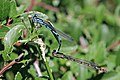 Common blue damselflies (Enallagma cyathigerum) in tandem Sweden.jpg