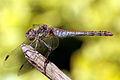Common darter dragonfly (sympetrum striolatum) mature female red abdomen.jpg