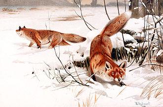 Лисицы в снегу. Картина В. Кунерта