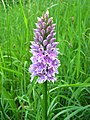 Common spotted orchid - geograph.org.uk - 465053.jpg
