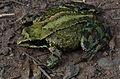 Common toad (7993329207).jpg