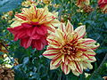 Concours international du dahlia 2012 - Parc Floral Paris 2.JPG