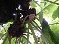 Conservatoire du bégonia 2015. Begonia 'Zelda's Problem' x carrieae 01.JPG