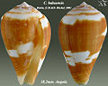Conus babaensis 1.jpg