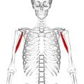 Coracobrachialis muscle05.png