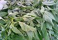 Corchorus olitorius L.jpg