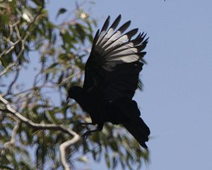 Brisbane Ranges National Park - A white-winged Chough pictured in the park in 2008.