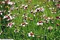 Coreopsis rosea Sweet Dreams 2zz.jpg