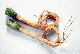 Coriander - Coriander roots