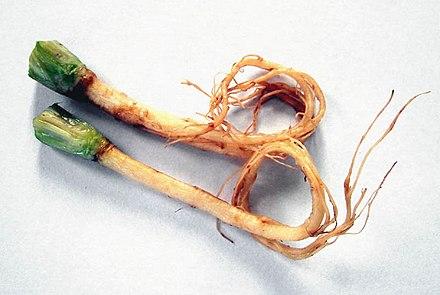 コリアンダーの根