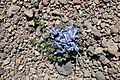 Corydalis alpestris, Պոպուլիկ ալպիական, Хохлатка альпийская - panoramio.jpg