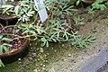 Corydalis gorinensis 04.jpg