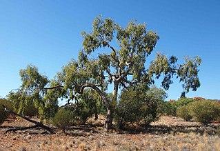 <i>Corymbia eremaea</i> species of plant