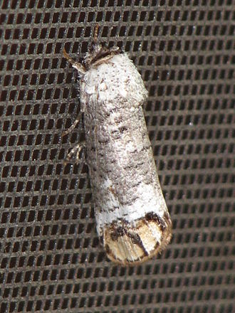 Cossidae - Cossula magnifica (Cossulinae)