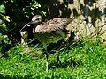 Courlis cendré Argelès-Gazost parc animalier.JPG