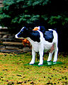 Cow3on front lawn.jpg