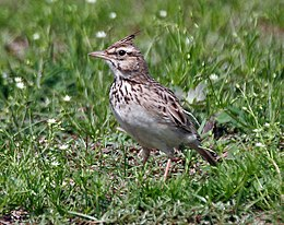 Crested Lark (Galerida cristata) at Sultanpur I Picture 118