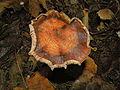 Crinkle-top mushroom (5109337890).jpg