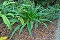 Crinum asiaticum - McKee Botanical Garden - Vero Beach, Florida - DSC03015.jpg