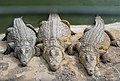 Crocodylus niloticus in Gran Canaria.jpg