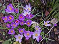Crocus - geograph.org.uk - 1188641.jpg