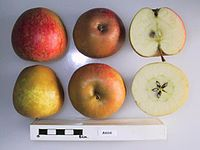 Cross section of Anisa, National Fruit Collection (acc. 1957-074).jpg