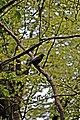 Crow In Tree, Arrowe Park (geograph 2949579).jpg