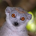 Crowned lemur (Eulemur coronatus) female head.jpg