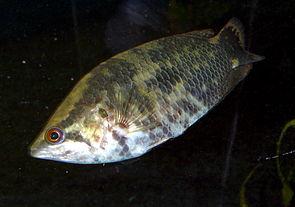 Buschfisch (Ctenopoma acutirostre oder C. oxyrhynchum)