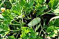 Cucurbita pepo var. giromontia Zucchini ყაბაყი.JPG