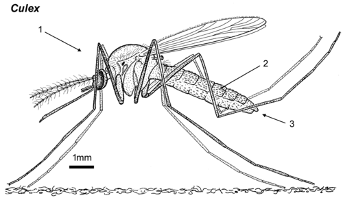 Culex female lateral.png