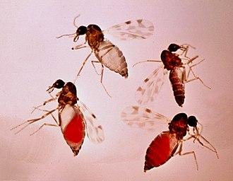Culicoides imicola - Image: Culicoides imicola bloodfeeding