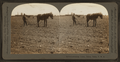 Cultivating Cotton, Dallas, Texas, U.S.A, by Singley, B. L. (Benjamin Lloyd).png