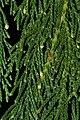 Cupressus nootkatensis 5880.JPG