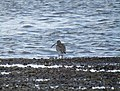 Curlew on Ringmore Foreshore.jpg