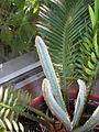 Cycas revoluta 2.jpg