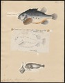 Cyclopterus lumpus - 1700-1880 - Print - Iconographia Zoologica - Special Collections University of Amsterdam - UBA01 IZ13600151.tif