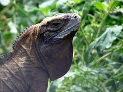 Cyclura collei head.jpeg