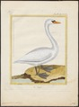 Cygnus olor - 1700-1880 - Print - Iconographia Zoologica - Special Collections University of Amsterdam - UBA01 IZ17600221.tif