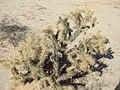 Cylindropuntia sanfelipensis.jpg